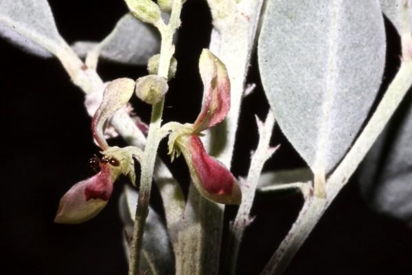 ניל מכסיף Indigofera coerulea Roxb.