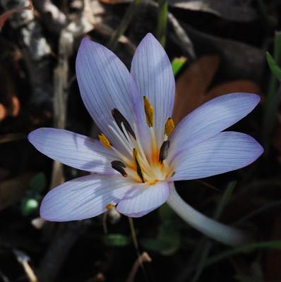 סתוונית החרמון Colchicum antilibanoticum Gomb.