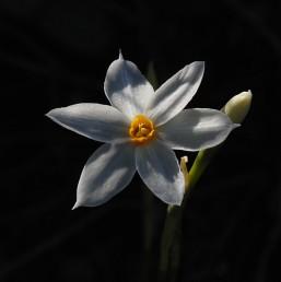 העמוד נושא (1-) 2 פרחים. אורך עלי-העטיף פי 5 מגובה העטרה.