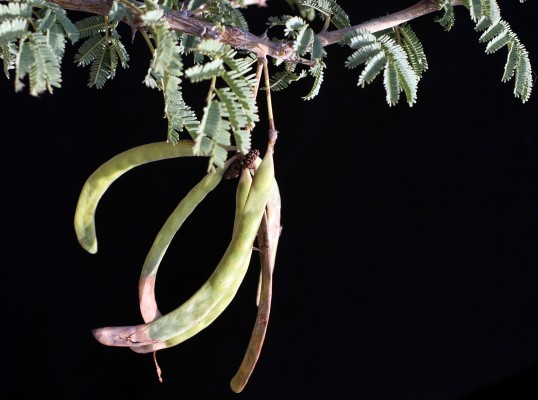 שיטת הנגב Acacia pachyceras O. Schwartz