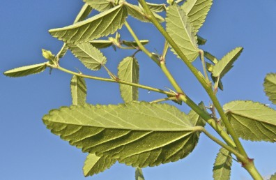 העלים דמויי אזמל, שפתם משוננת, פטוטרתם ניכרת; עלי-הלוואי דמויי מחט.