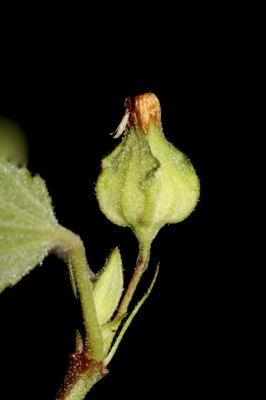 סידה קוצנית Sida spinosa L.