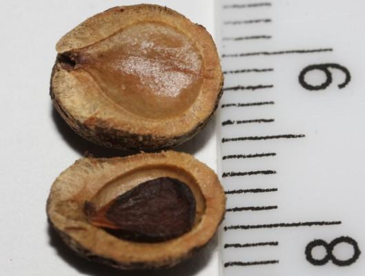 שיזף שעיר Ziziphus nummularia (Burm.f.) Whigt & Arnott