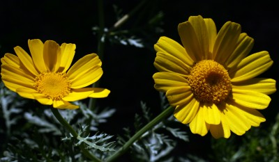 כל העלים גזורים-מנוצים או מחולקים-מנוצים פעמיים לאונות מחודדות. קוטר הקרקפת 6-3 ס