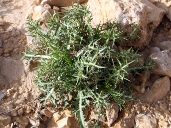 העלים התחתונים גזורים, על פי רוב ירוקים בעת הפריחה. צמחים של בתות ספר, בתות, ערבות וסלעים במדבר.