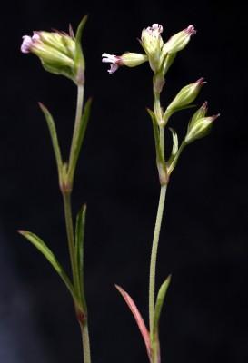 ציפורנית מקופחת Silene decipiens Barc.