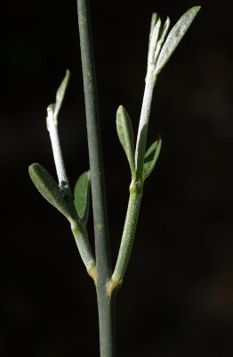 אחירותם החורש Spartium junceum L.