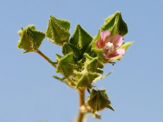 חלמית מצרית Malva aegyptia L.