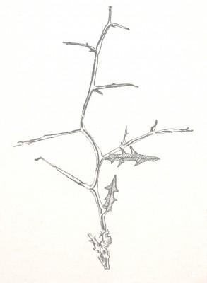 חסה מזרחית Lactuca orientalis (Boiss.) Boiss.