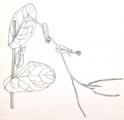Moricandia sinaica (Boiss.) Boiss.