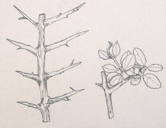 דומה לאשחר דו-זרעי אך העלים והגבעולים נגדיים.