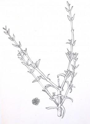 מלחית נגדית Salsola oppositifolia Desf.