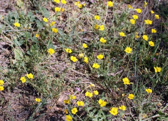 מגלית שרועה Hypecoum procumbens L.