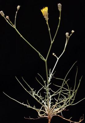 לוניאה דקת-אונות Launaea fragilis (Asso) Pau