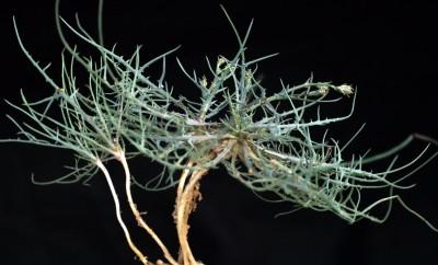 אונות העלים צרות, דמויות סרגל או נימיות, ארוכות למדי וכמעט תמימות. רבים מגושי הצמחים בחולות המדבר והחוף בעלי קני-שורש.
