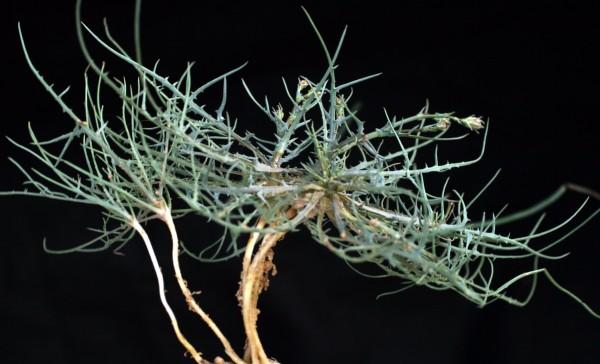 Launaea fragilis (Asso) Pau