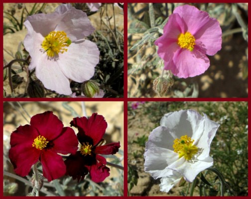 שמשון הדור Helianthemum vesicarium Boiss.