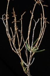 בסיס הצמח מעוצה ויוצאים ממנו ענפים אנכיים שהסתעפותם מועטה.