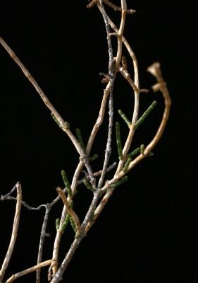 יפרוק תלת-כנפי Anabasis syriaca Iljin