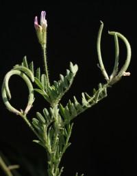 בתפרחת 3-1 (-5) פרחים.