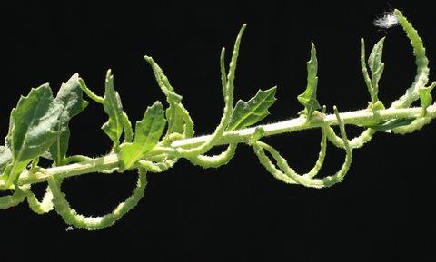 מחרוזת משונצת Enarthrocarpus strangulatus Boiss.