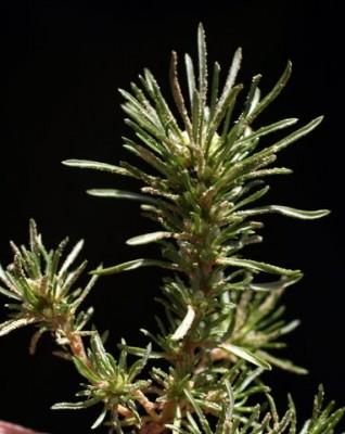 מחטנית משובלת Ifloga spicata (Forssk.) Sch.Bip.