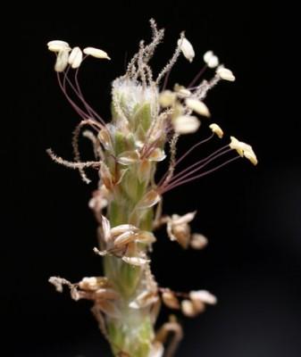 Plantago cylindrica Forssk.