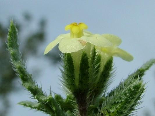 לשון-פר מצרית Anchusa aegyptiaca (L.) DC.