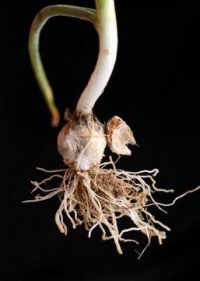 שום דרומי Allium negevense Kollmann