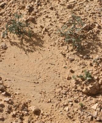 מקור-חסידה שעיר Erodium crassifolium L'Her.