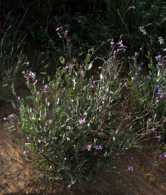 Moricandia nitens (Viv.) E.A.Durand & Barratte