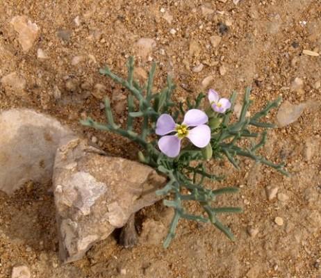 שלחלח האלה Pseuderucaria clavata (Boiss. & Reut.) O.E.Schulz