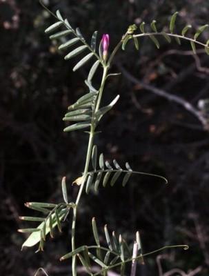 בקיה מדורבנת Vicia monantha Retz.