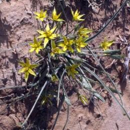 עלי-העטיף חדים או מחודדים באופן ברור. צמחים הגדלים בצברים. עלי הבסיס נימיים, רוחבם 2-1 מ