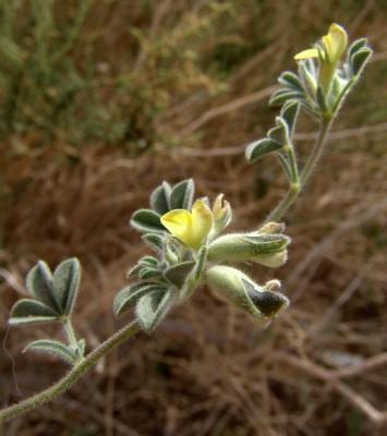 לוטונית מדוקרנת Lotononis platycarpa (Viv.) Pichi-Serm.