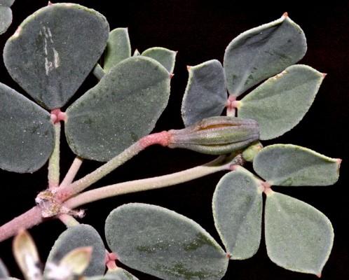 Seetzenia lanata (Willd.) Bullock