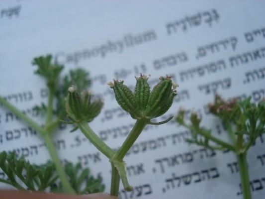 גבשונית השדה Capnophyllum peregrinum (L.) Lag.