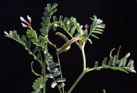 קדד מקומט Astragalus crenatus Schult.