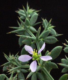 פגוניה קטנת-פרחים Fagonia bruguieri DC.