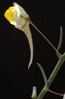 עפעפית גדולת-פרחים Kickxia spartioides (Brouss. ex Buch) Janch.