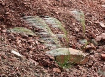 דגן חד-שנתי, מרובה במדרונות חצציים במדבר. לאחר הפריחה מטה הרוח את התפרחות לדמות של מכבדים חד-צדדיים.