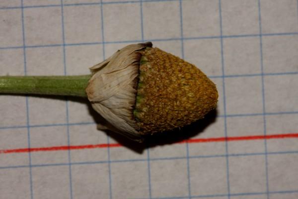 קחוון גולני Anthemis haussknechtii Boiss. & Reut.