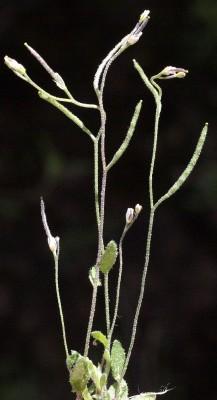 ארביס אוזני Arabis auriculata Lam.