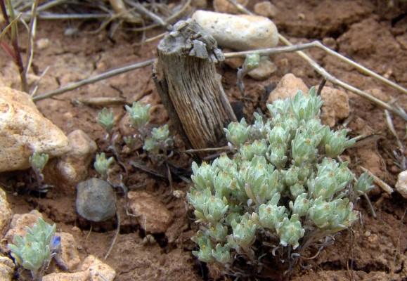 Filago palaestina (Boiss.) Chrtek & Holub
