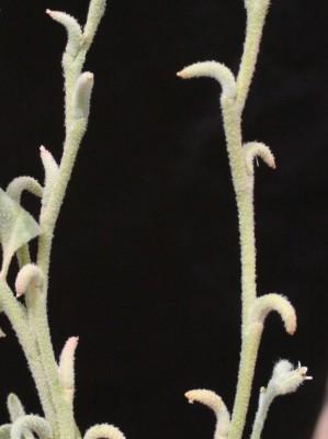 מורטיה קטנת-פרחים Morettia parviflora Boiss.