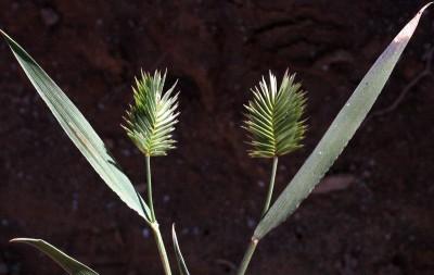 צמחים חד-שנתיים נמוכים גובהם 30-5 ס
