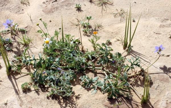 מקור-חסידה ארוך Erodium ciconium (L.) L'Her.