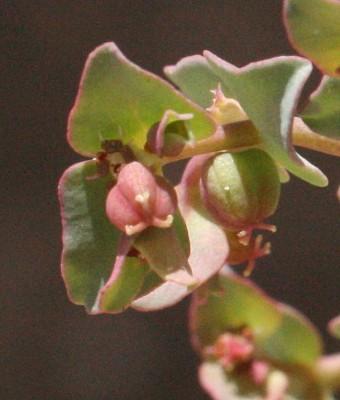 Euphorbia chamaepeplus Boiss. & Gaill.