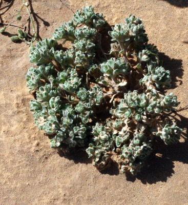 בן-ציצית טחבני Lasiopogon muscoides (Desf.) DC.