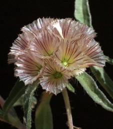 נזר המעטפית בעל 28-25 עורקים שצבעם ארגמן. צמחי מדבר שרועים שגובהם עד 20 ס